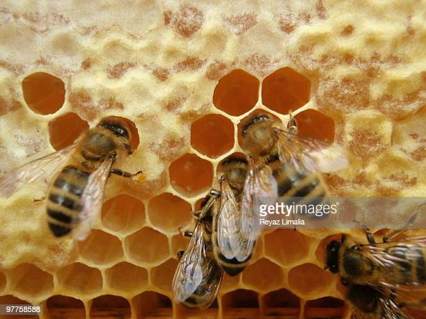 gorging bees - honeycomb stock pictures, royalty-free photos & images