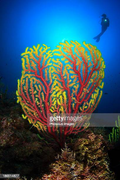 gorgonian - soft coral stock pictures, royalty-free photos & images