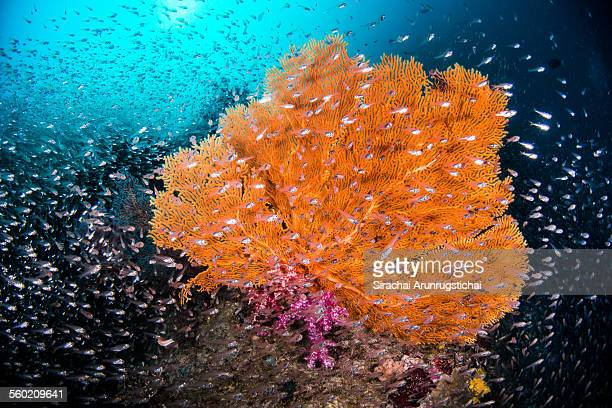 Gorgonian sea fan with a shoal of glassfish