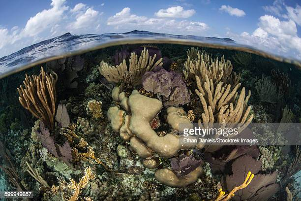 Gorgonians and reef-building corals near the Blue Hole in Belize.