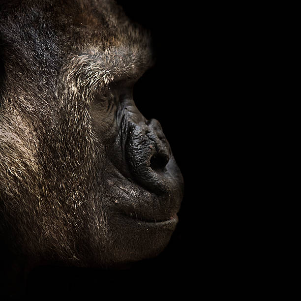 Gorila Wall Art
