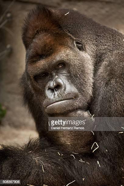 Gorila thinking