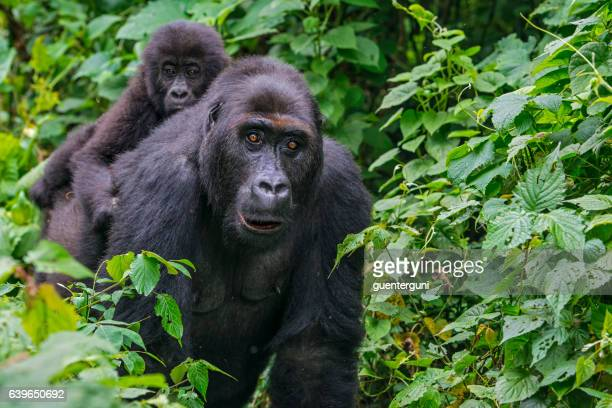 gorilla baby riding on back of mother, wildlife shot, congo - gorilla stock photos and pictures