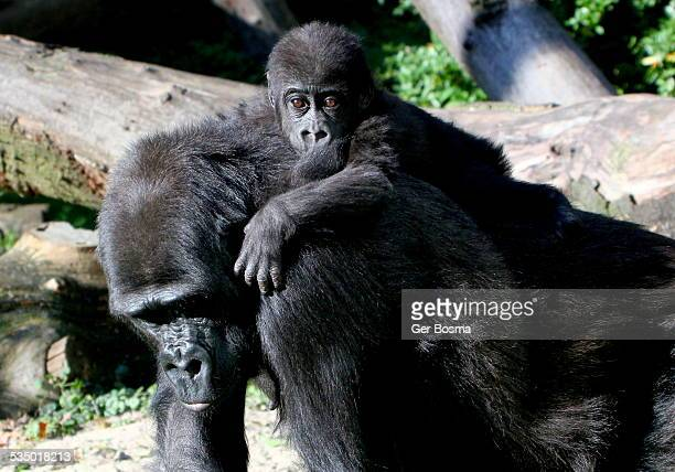 gorilla boy on mother's back - gorilla hand stock photos and pictures