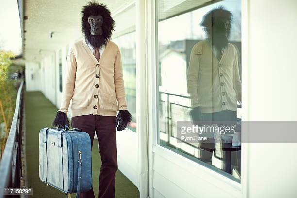 gorilla business man in hotel hallway - monkey suit stock pictures, royalty-free photos & images