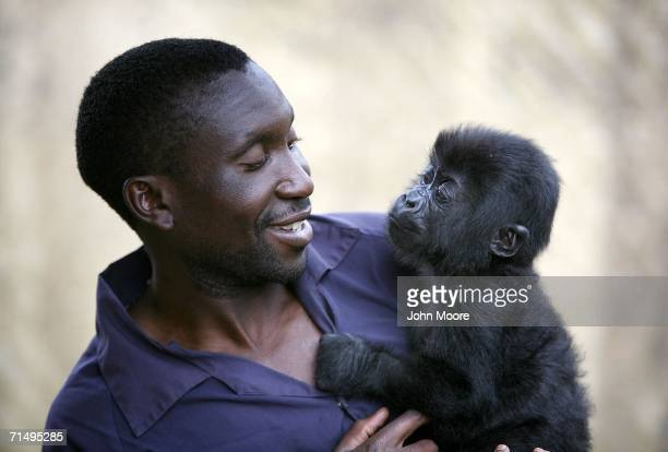 Gorilla caregiver Andre Bauma holds fourmonthold lowland gorilla Tumaini July 18 2006 at the Diane Fossey gorilla center in Goma in the eastern...