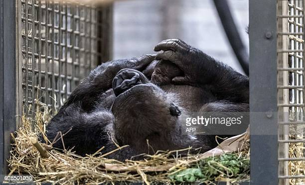 Gorilla Changa Maidi holds her one day old offspring in the zoo in Muenster, western Germany, on December 8, 2016. / AFP / dpa / Guido Kirchner /...