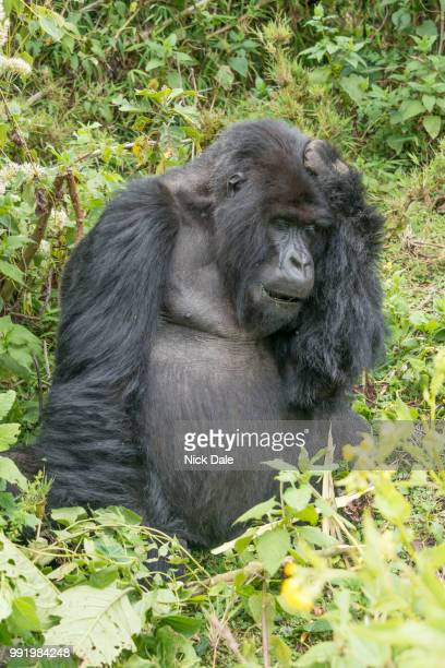 gorilla closes eyes with hand on head - gorilla hand stock photos and pictures