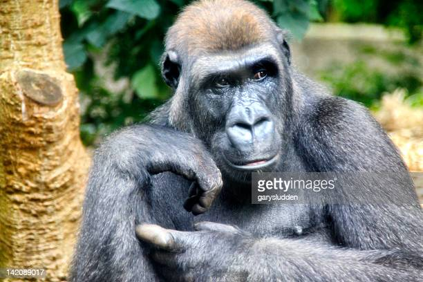 gorilla deep in thought
