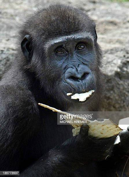 A gorilla eats the traditional Matza at Tel Aviv zoo 19 April 2005 Israeli zoo keepers have put their population of gorillas on a kosher diet in...