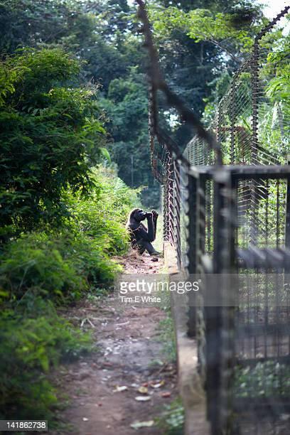 Gorilla enclosure Primate sanctuary, Mefou National Park, near Yaounde, Cameroon, Africa