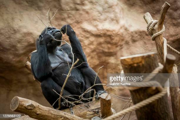 Gorilla feeds on vegetables at Prague Zoo on November 10, 2020 in Prague, Czech Republic. Prague's zoo has started a new fundraising program for...