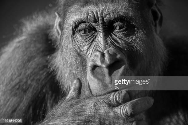 "gorilla female (gorilla gorilla gorilla) close up portrait. - ""sjoerd van der wal"" or ""sjo"" stock pictures, royalty-free photos & images"