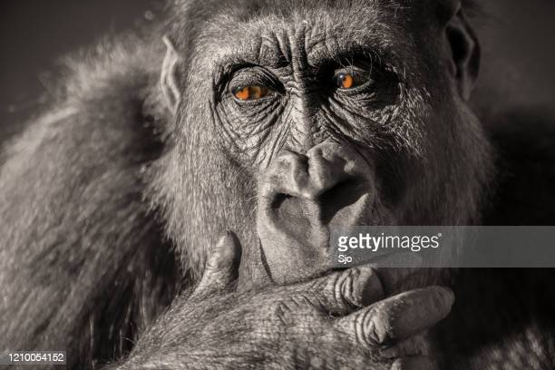 "gorilla female (gorilla gorilla gorilla) close up portrait. - ""sjoerd van der wal"" or ""sjo"" stock pictures, royalty-free photos & images"