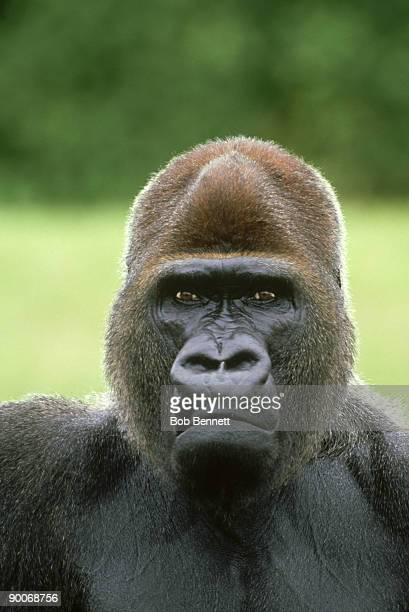 gorilla, gorilla gorilla, male