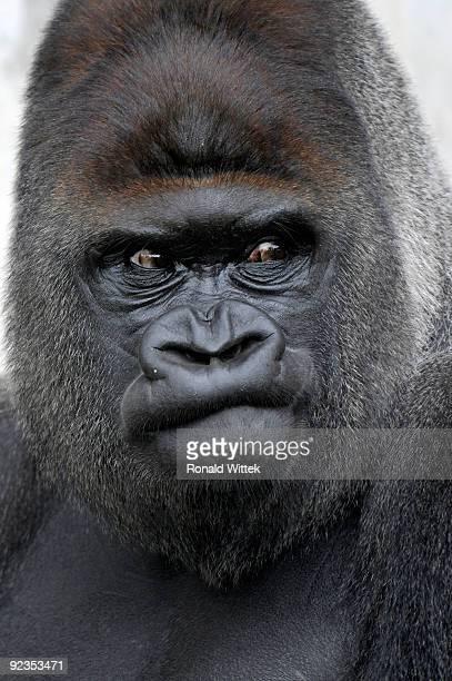 gorilla gorilla - ゴリラ ストックフォトと画像