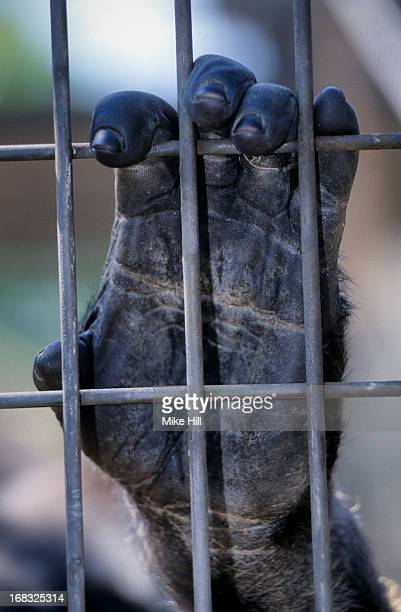 gorilla hand behind bars - gorilla hand stock photos and pictures
