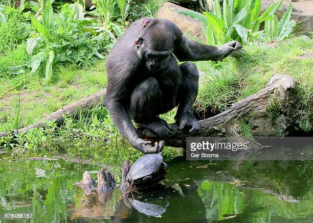 a gorilla & his pet turtle - gorilla hand stock photos and pictures