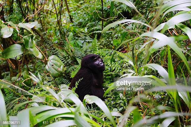 Gorilla In Forest At Bwindi National Park
