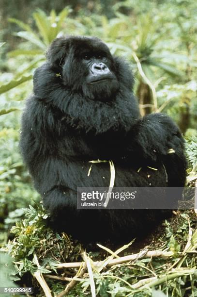 Gorilla in Ruanda. Aufgenommen um 1994