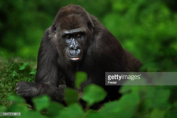 gorilla in the jungle - gorilla stock pictures, royalty-free photos & images