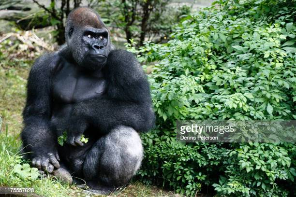 gorilla in woods - bronx zoo stock pictures, royalty-free photos & images