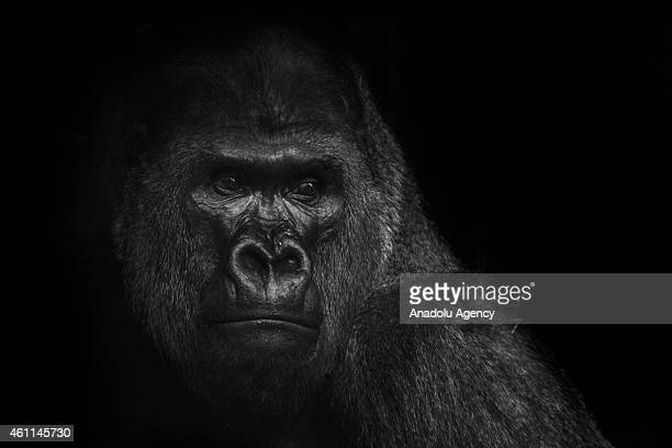 Gorilla is seen in its enclosure at the Smithsonian National Zoo in Washington DC United States on January 07 2015