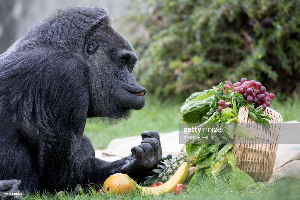 Gorilla lady Fatou inspects a basket with fruit she was given for her 60th birthday on April 13, 2017 at the Zoologischer Garten zoo in Berlin. / AFP PHOTO / dpa / Kay Nietfeld / Germany OUT