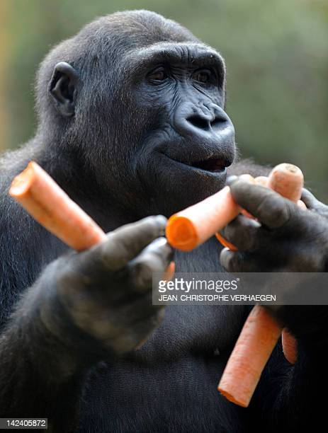 A gorilla male holds carrots in the enclosure 'Gorilla's Camp' at the Amneville zoo eastern France on April 04 2012 Ya Kwanza a silverback gorilla...