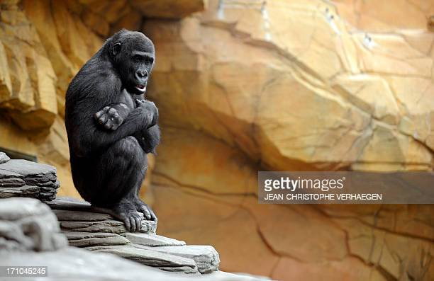 A gorilla male sits in the enclosure 'Gorilla's Camp' at the Amneville zoo eastern France on April 04 2012 Ya Kwanza a silverback gorilla male also...