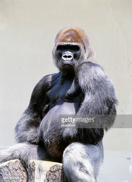gorilla, maruyama zoo, hokkaido, japan - plusphoto stock pictures, royalty-free photos & images