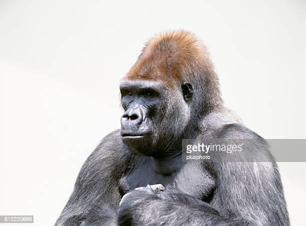 Gorilla, Maruyama zoo, Hokkaido, Japan