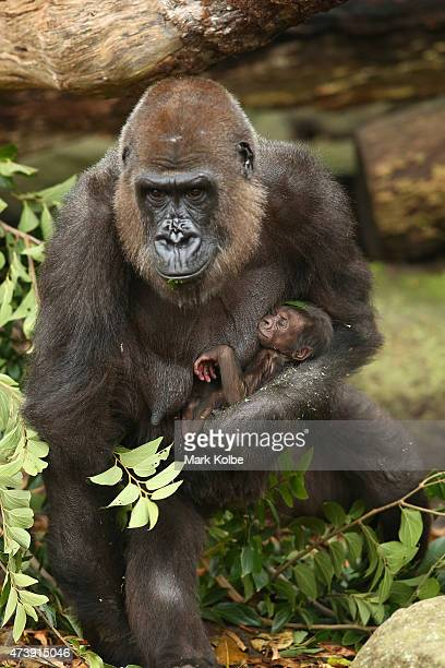 Gorilla mother Frala is seen holding her new born baby, which is still to be named as keepers are yet to determine the baby gorillas sex at Taronga...