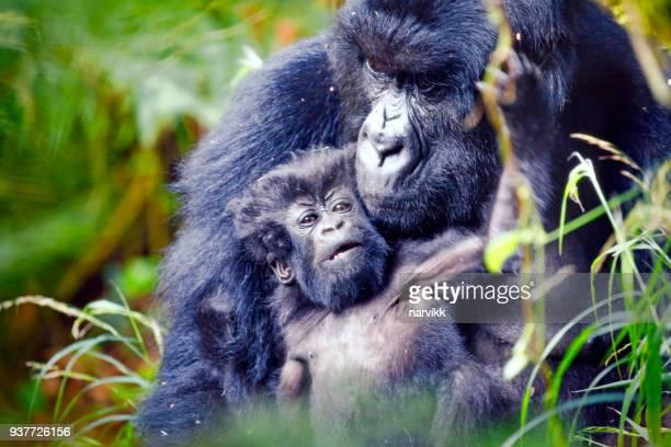 ゴリラ母彼女の赤ちゃんの世話 - ウガンダ ストックフォトと画像