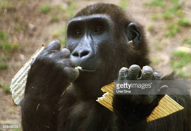 A Gorilla munches on matza the traditional food for the upcoming Jewish festival of Passover April 19 2005 at a Safari park in Ramat Gan near Tel...