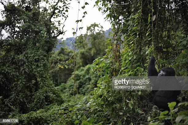 A gorilla picks foliage to eat in a clearing on the slopes of Mount Mikeno in the Virunga National Park on November 28 2008 The park is home to 200...