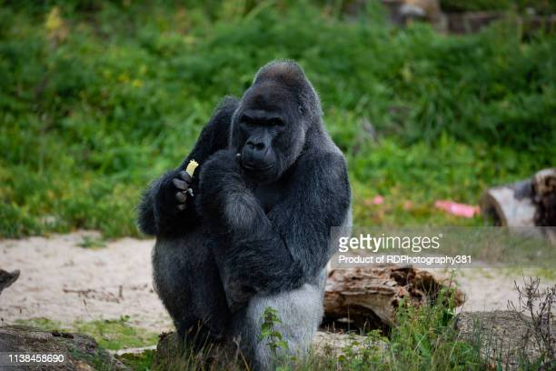 gorilla - male animal stock pictures, royalty-free photos & images