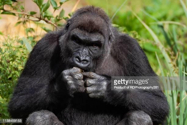 gorilla - gorilla hand stock photos and pictures