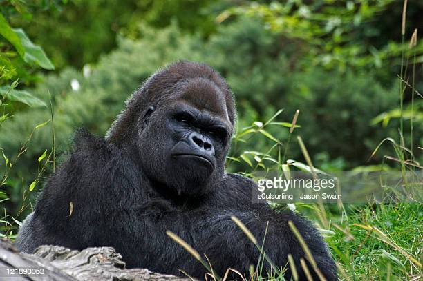 gorilla - s0ulsurfing stock pictures, royalty-free photos & images