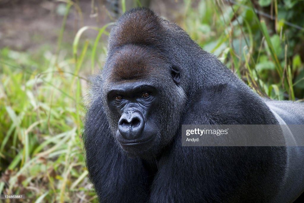 Gorilla : Foto de stock