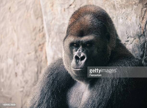 gorilla - gorilla stock pictures, royalty-free photos & images