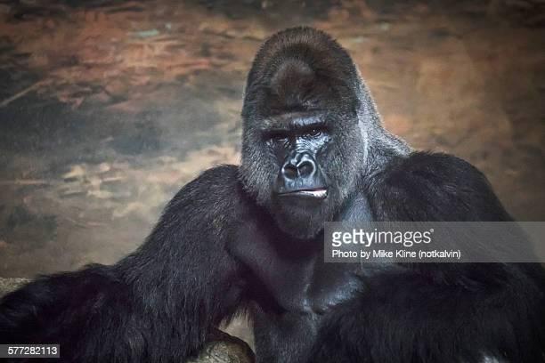 gorilla - gorila lomo plateado fotografías e imágenes de stock