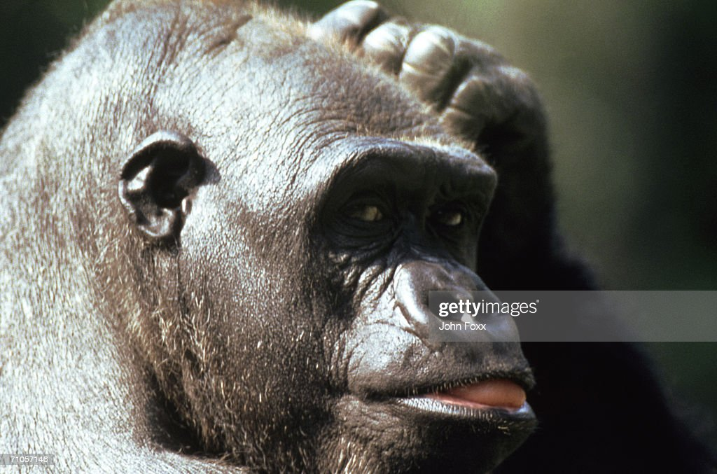 gorilla : Stock Photo
