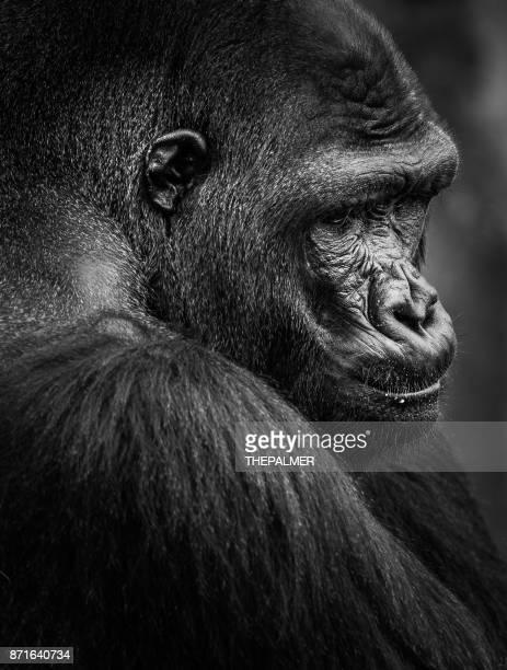 gorille  - gorille photos et images de collection