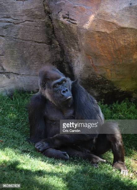 gorilla - cris cantón photography stock pictures, royalty-free photos & images