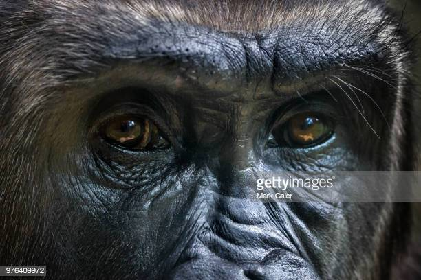 gorilla portrait, melbourne, victoria, australia - animal eye stock pictures, royalty-free photos & images