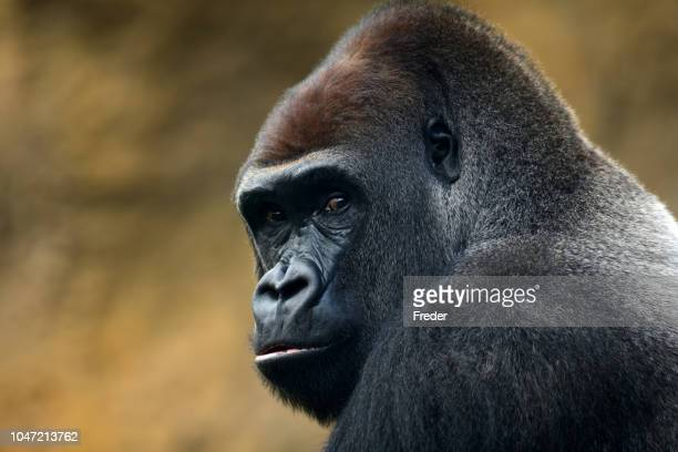 gorilla portrait - primate stock pictures, royalty-free photos & images