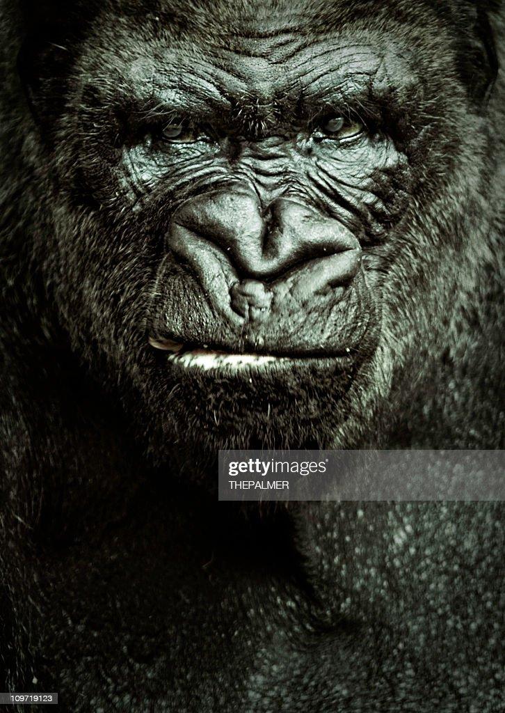 gorilla portrait : Stock Photo