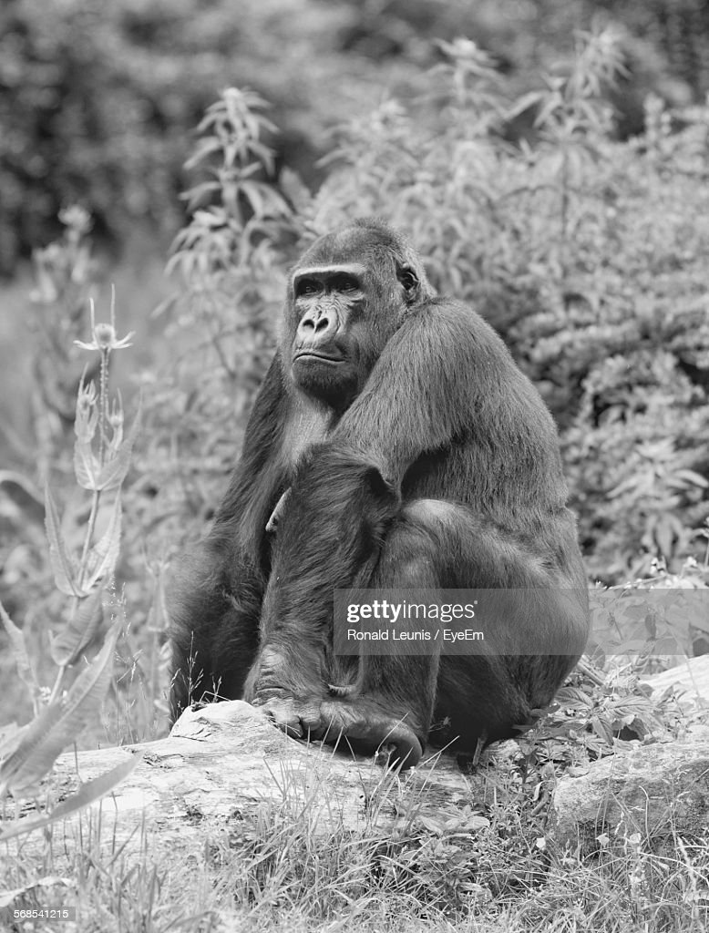 Gorilla Relaxing On Hill : Foto de stock