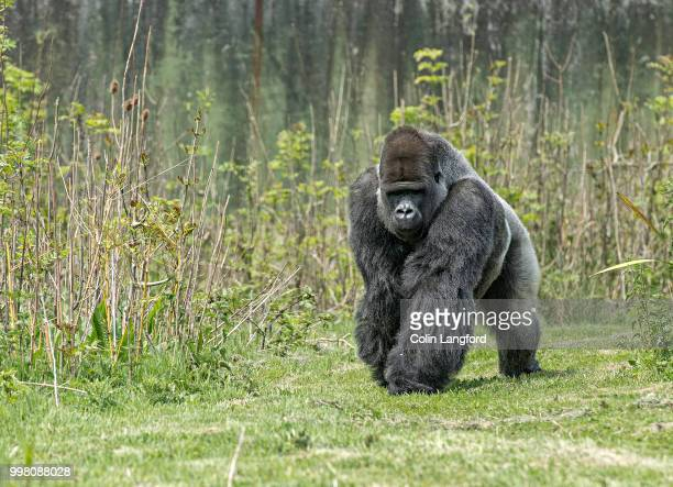 gorilla series - gorilla stock pictures, royalty-free photos & images
